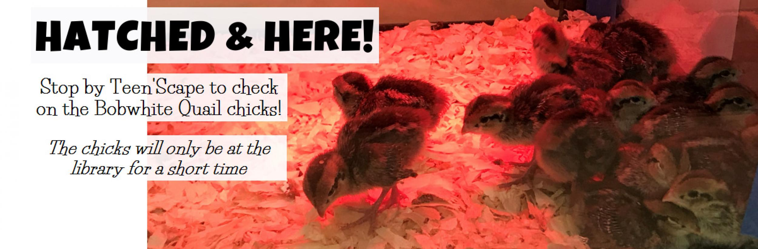"Image for ""Quail Chicks are here!"""